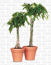 Potted plant: Pachira macrocarpa (Money Tree)